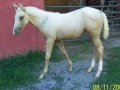 2008scarfillypalomino3-mth